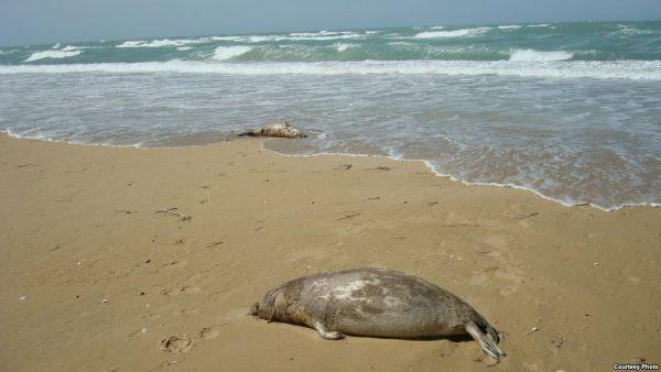 На побережье Каспия обнаружили сотни мертвых тюленей