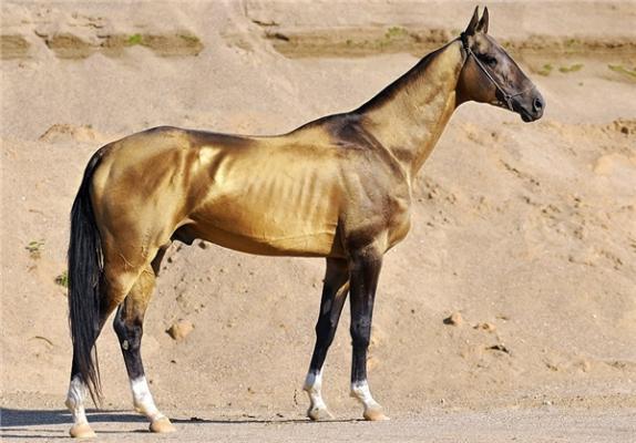 تاخت اسب اصیل ترکمن برای ثبت در «یونسکو»