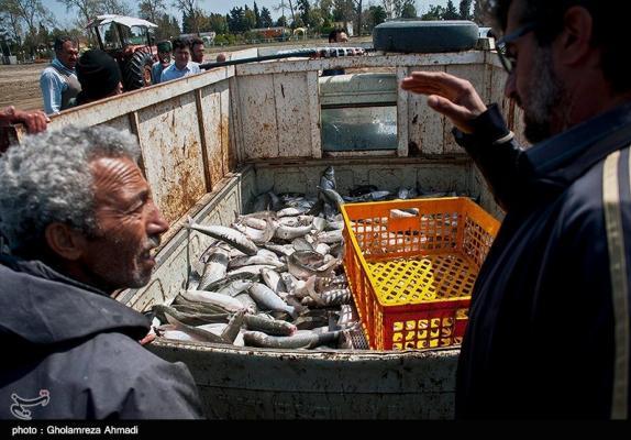 صیادان گیلانی ۱۰۸۴ تن ماهی استخوانی از دریای خزر صید کردند
