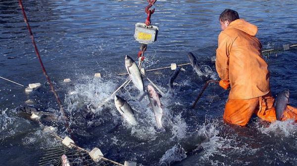 С начала года вылов российских рыбаков вырос на 2,2 Процент и достиг 2,9 млн тонн