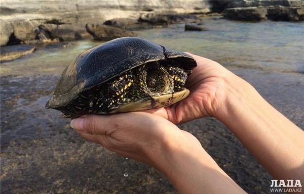 Житель Актау обнаружил в Каспии редкую для региона болотную черепаху