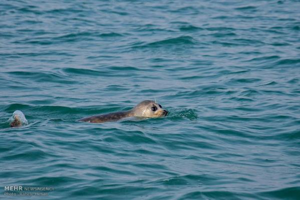 Iran environmental body compiling plan to protect Caspian Sea seals