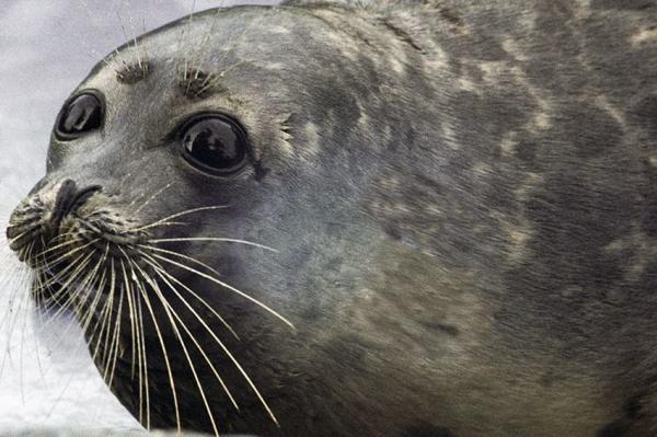 В Дагестане создадут реабилитационный центр по спасению каспийский тюленей Репортаж