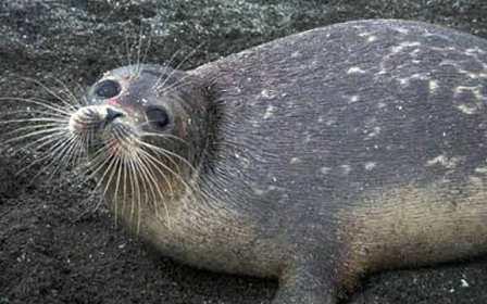 برنامه اقدام حفاظت ازفک خزری تهیه می شود/ حضورنهنگ قاتل در آبهای خلیج فارس