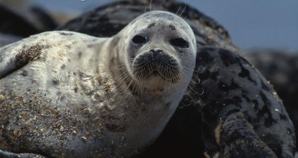 Oil and Gas Drilling Threatens Little-Known but Unique Seal