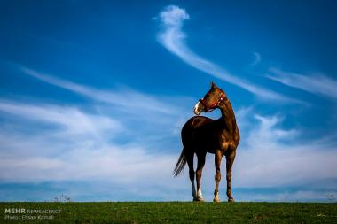 Turkmen horse Iran's national heritage