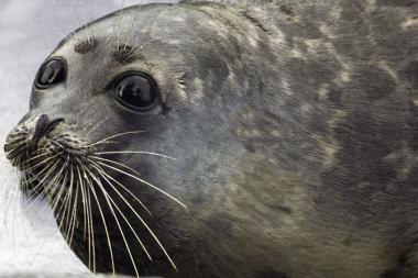 В Дагестане создадут реабилитационный центр по спасению каспийский тюленей