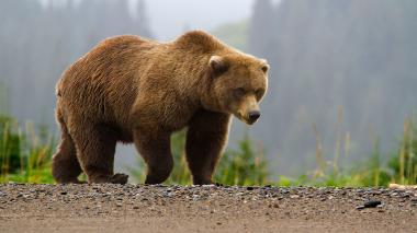 خرس قهوه ای در کردکوی